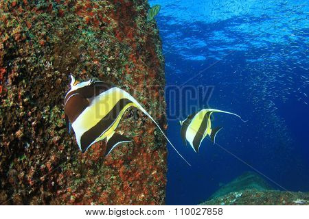 Moorish idol fish butterflyfish angelfish