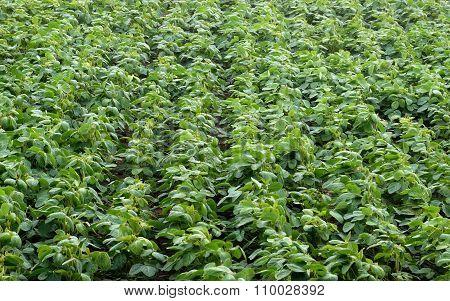 Spring Soybean Field