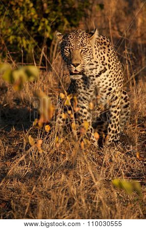 Leopard In The Bush