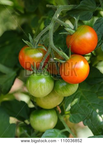 Closeup of Cherry tomatoes ripen on its vine in Europe