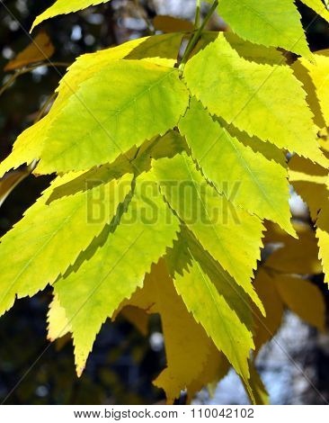 Yellow-green Leaves Closeup