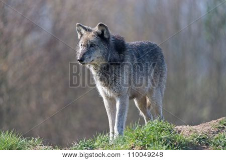 Grey Wolf (Canis Lupis)
