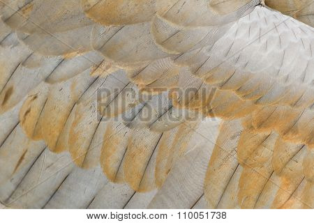 Sandhill Crane Feather