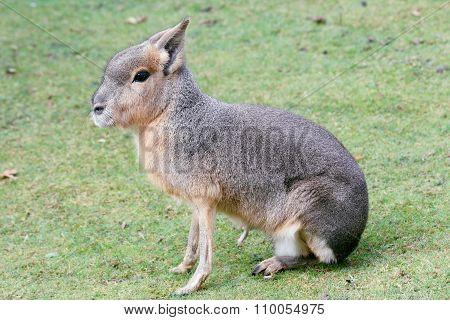 Great Mara  (dolichotis Patagonum)