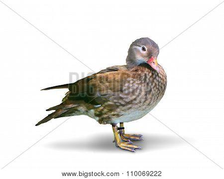 Carolina Duck Standing Over White Background