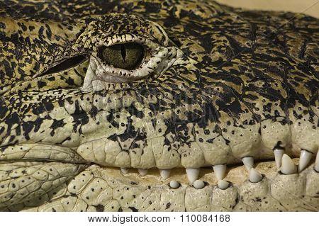 Alligator Eye And Teeth Detail