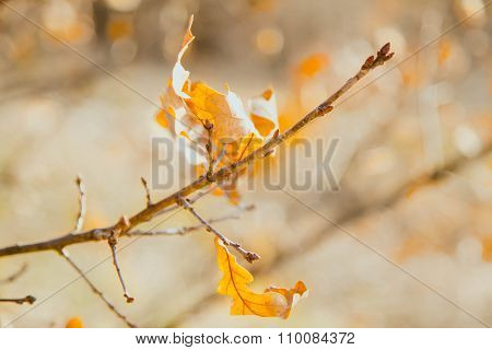 Some Dry Yellow Oak Leaves Lit With The Sun On A Thin Branch In The Fall
