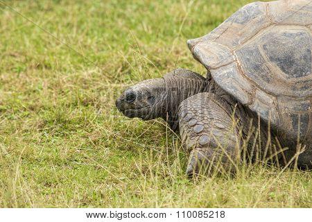 Turtoise, Dipsochelys Gigantean