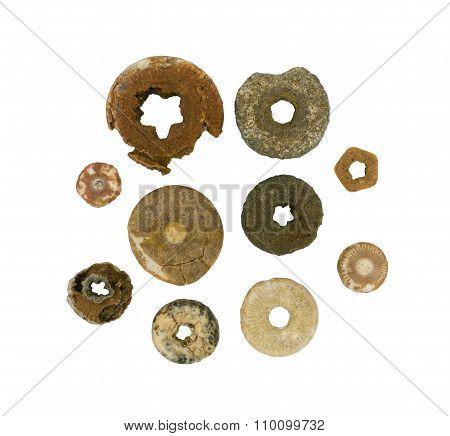 Several circular segments of fossilized sea lily