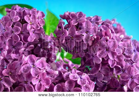 The Branches Of The Young, Blossoming Lilac Closeup