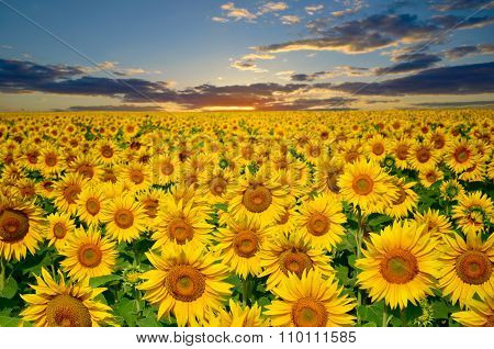 Large Field Of Sunflowers On A Background Sunset Sun