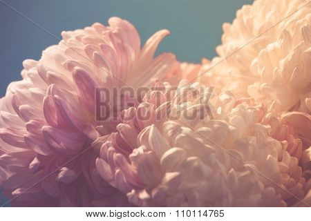 chrysanthemum flowers on light blue background, closeup