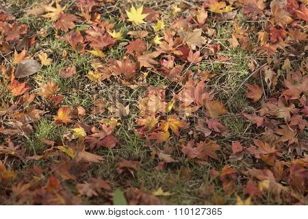 Maple Leaves On The Grassland In Autumn Vintage Tone