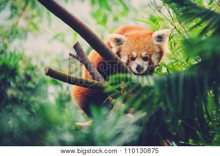 Red Panda walking along a bamboo tree