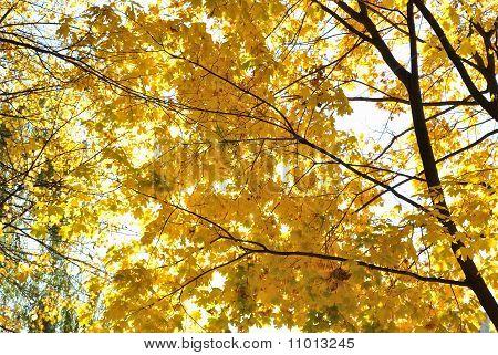Im Herbst-Thema, die Gold-Blätter des Ahorns.
