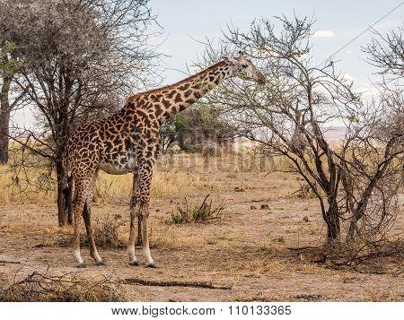 Masai Girrafe