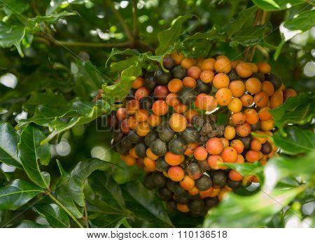 Hawaiian Kona Red Coffee Beans On Tree Growing In Plantation In Kauai