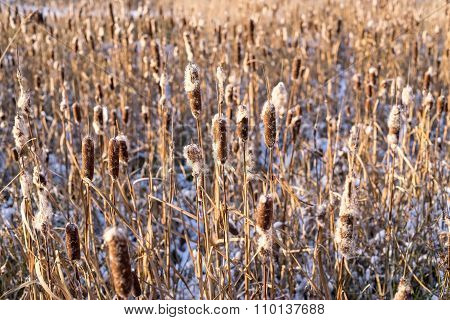 Thickets Of A Cane Or Reed In Sunlight