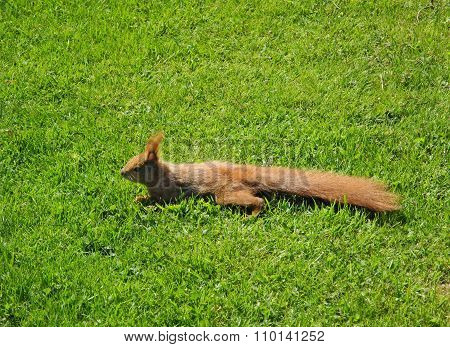 Squirrel stretched out on the lawn