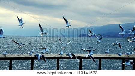 Seagulls In Lake Ohrid, Macedonia