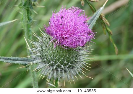 Purple thistle in flower