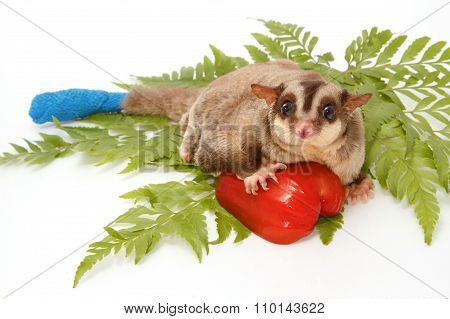 Sugar Glider Sick Have  Wounded Tail  A Protective With Bandage
