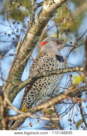 Northern Flicker in Tree