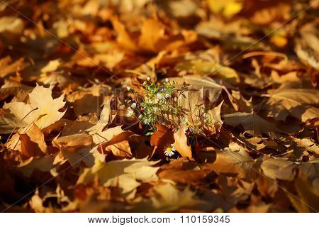 Flowers On Fallen Maple Leaves
