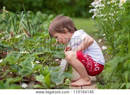 Boy, Gathering Fresh Strawberries, Growing In Garden