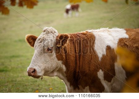Brown And White Dairy Cow In Pasture, Czech Republic