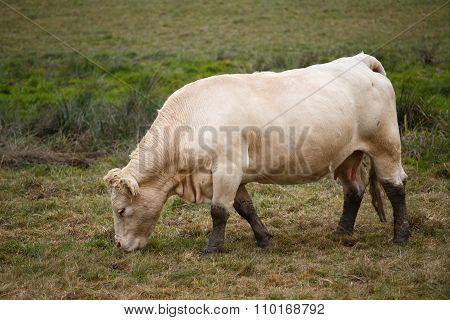 White Cow On Autumn Pasture