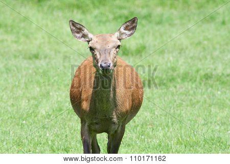 Red Deer (cervus Elaphus)