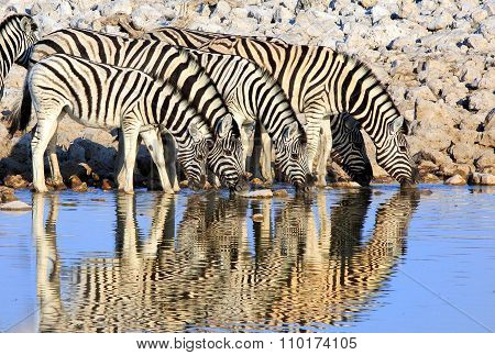 Four Zebra's drinking with a good reflection