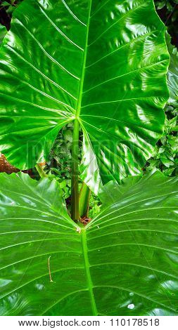 Elephant Ear Tropical Leaf