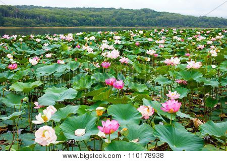 Lotuses in the pond.