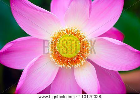 Rare Lotus flower.
