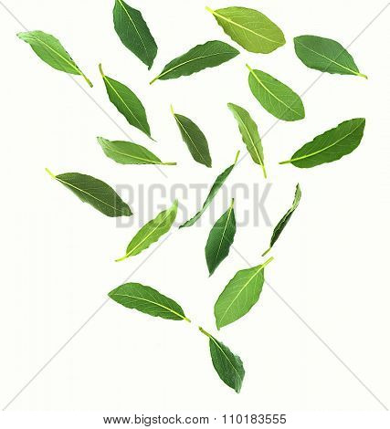 Fresh green bay leaves, isolated on white