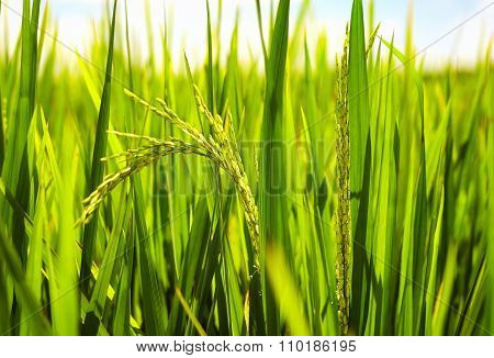 Young Stalks Of Rice Ripen Under The Sun On Paddy Field
