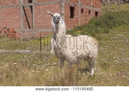 Llama Waiting At The Edge Of Town
