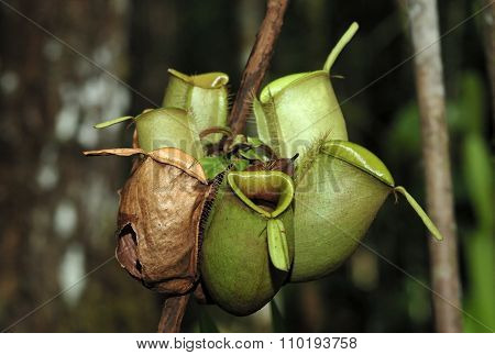 Nepenthes, Also Known As Tropical Pitcher Plants, Is A Genus Of Carnivorous Plants