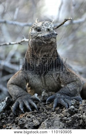 The Marine Iguana On The Black Stiffened Lava. The Male Of Marine Iguana (amblyrhynchus Cristatus)