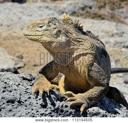 Galapagos Land Iguana ( Conolophus Subcristatus ),