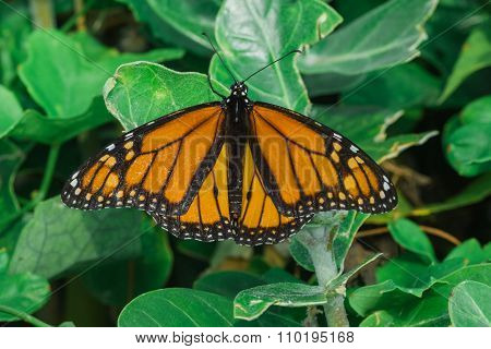 Ventral View Of A Monarch Butterfly