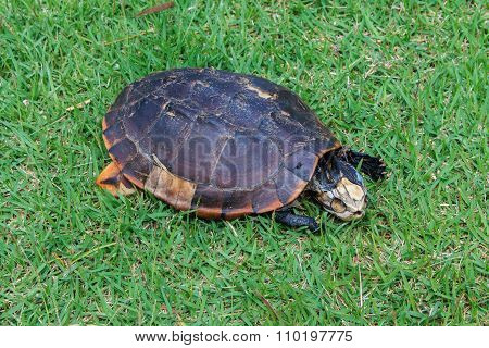 Carrion Turtle , Turtle Deaths