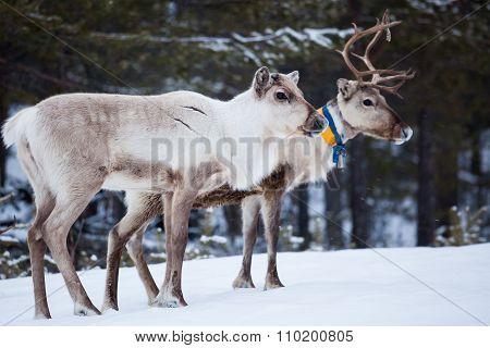Reindeer flock in the wild at winter