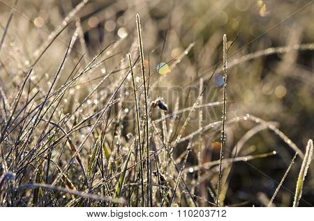 Closeup Of Frosty Grass On Sunny Autumn Morning