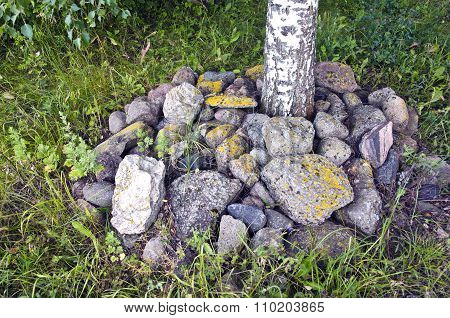 Birch Tree Surrounded By Stones