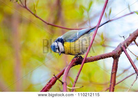 Blue tit bird, wildlife.