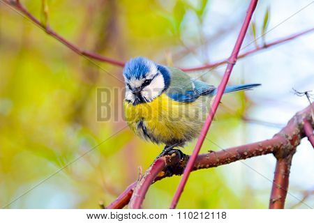 Blue tit bird.