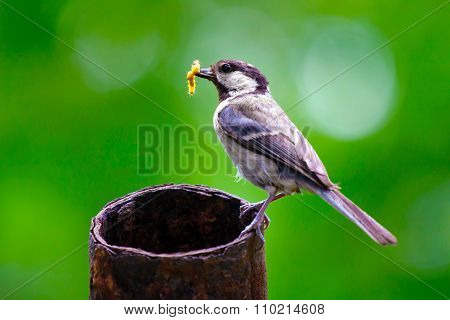 Tit with prey, maternity bird.